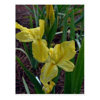 Iris imberbe amarillo de Luisiana Tarjetas Postales