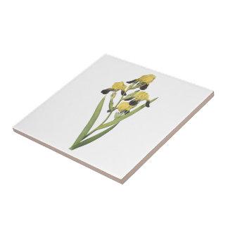 iris marrón-florecido (squalens del iris) por azulejo cerámica