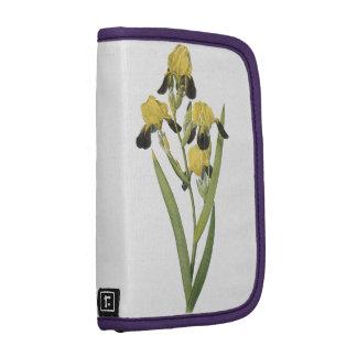 iris marrón-florecido (squalens del iris) por planificadores