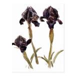iris negro de Jordania Postales