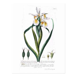 Iris orientalis postcard