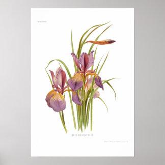 Iris orientalis poster