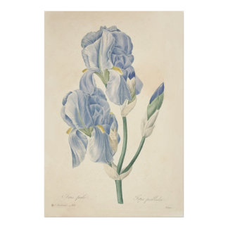Iris Pale Poster