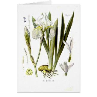 Iris pallida cards