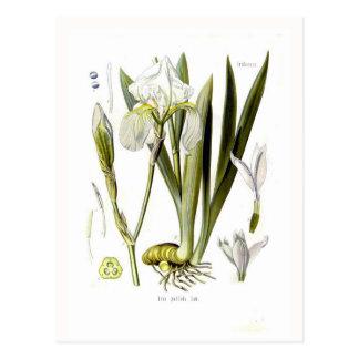 Iris pallida post cards