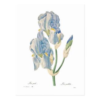 Iris pallida postcard