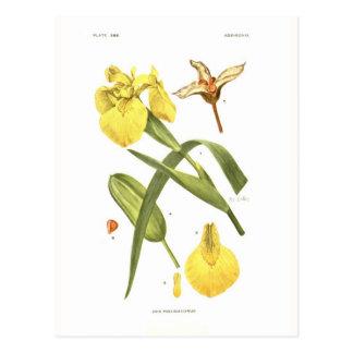 Iris pseudacorus postcard