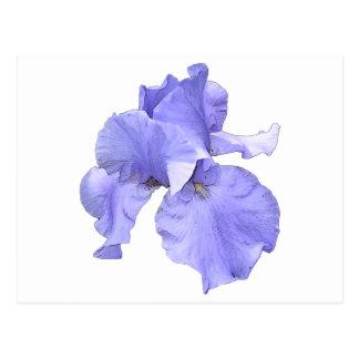 Iris púrpura barbudo alto tarjeta postal