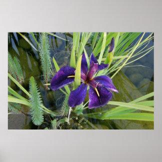 Iris púrpura del agua impresiones