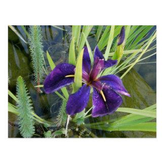 Iris púrpura del agua tarjetas postales
