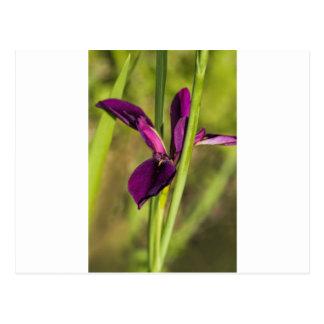 Iris púrpura del gallo de pelea de Luisiana Tarjeta Postal