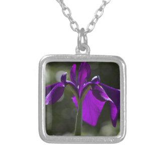 Iris púrpura del pantano con el fondo de Bokeh Grímpola