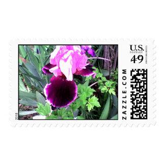 Iris púrpura del terciopelo franqueo
