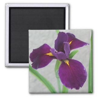 Iris púrpura imán cuadrado