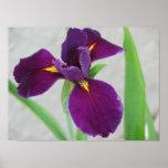 Iris púrpura impresiones