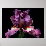 Iris púrpura llamativo impresiones