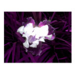 Iris púrpura y blanco postal