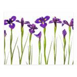 Iris púrpuras aislados en un fondo blanco postal
