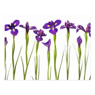 Iris púrpuras aislados en un fondo blanco postales