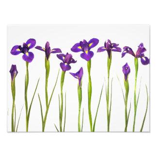 Iris púrpuras - plantilla modificada para fotografía