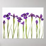 Iris púrpuras - plantilla modificada para póster