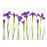 Iris púrpuras - plantilla modificada para requisit arte fotográfico