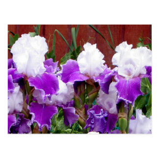 Iris púrpuras y blancos postal