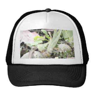 Iris Rhizome With Shoots Hat