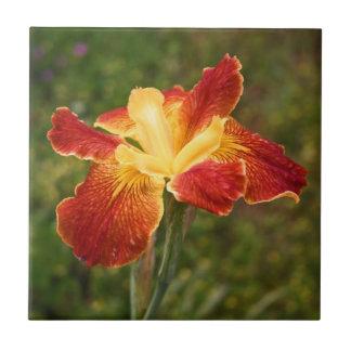 """Iris """"salida del sol de Luisiana de Cajun """" Azulejo Cuadrado Pequeño"""