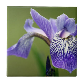 Iris siberiano Trivet Azulejo Cuadrado Pequeño