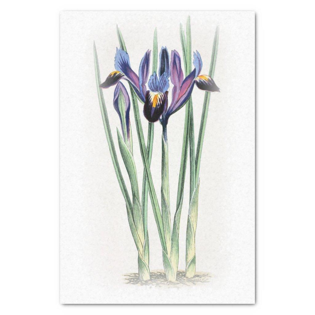 Iris Vintage Watercolor on Cream Fade Tissue Paper