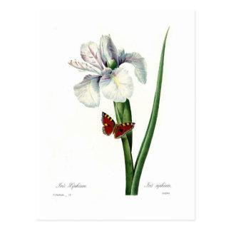 Iris xipheum post cards