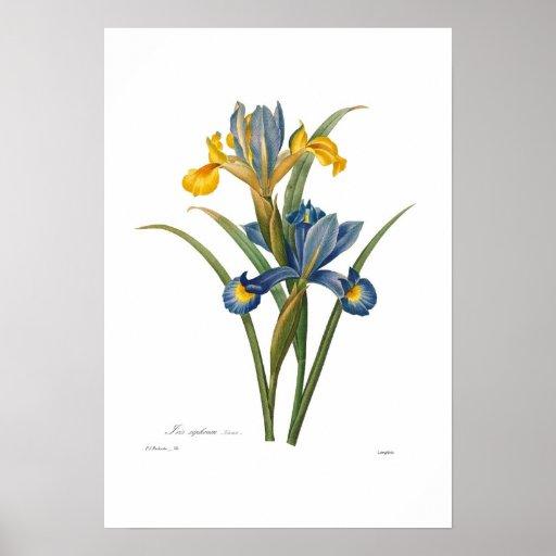 Iris xipheum poster