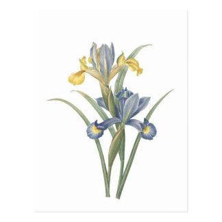 Iris Xiphium Postcard