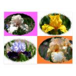 Irises at Missouri Botanical Gardens Postcard