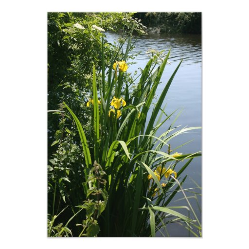 Irises growing on river bank at Canal Bank, Exeter Photograph