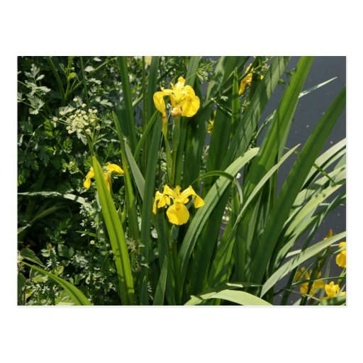 Irises growing on river bank at Canal Bank, Exeter Postcard