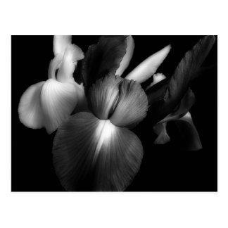 Irises in Black & White 1941 Postcard