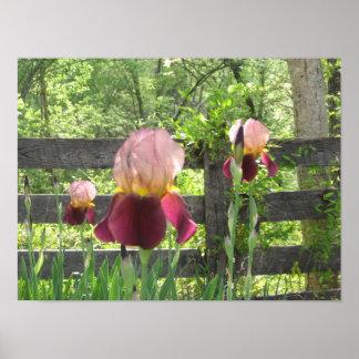 Irises on the Farm Poster