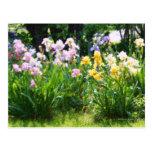 Irises Post Card