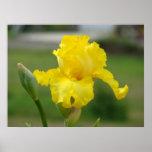 IRISES Yellow Iris Flowers Art Prints Posters