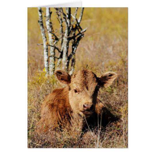 Irish Dexter Calf Card