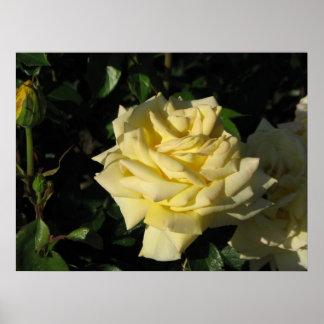 Irish Gold Hybrid Tea Rose 091 Poster