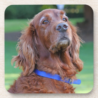 Irish Setter dog beautiful photo portrait, gift Coasters