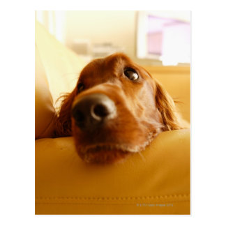Irish Setter on sofa Postcard