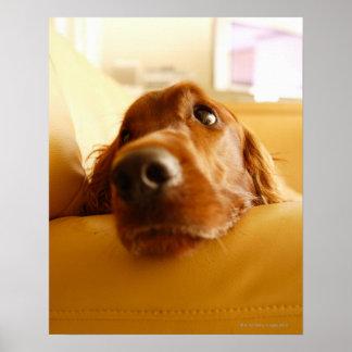 Irish Setter on sofa Poster