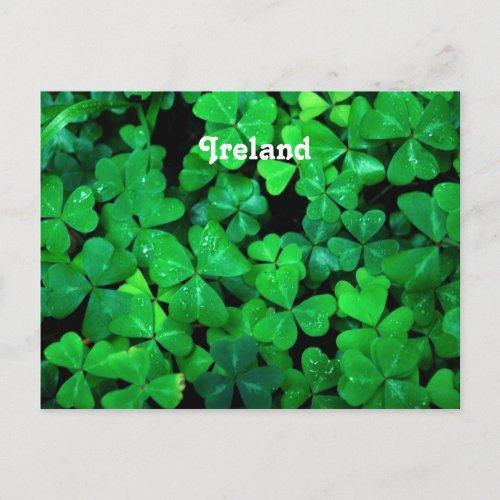 Irish Shamrocks Postcard