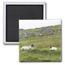 Irish sheep magnet
