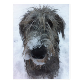 irish wolfhound playing in the snow post cards