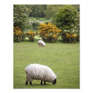 Irlanda occidental, esquilada por completo negro-h cojinete